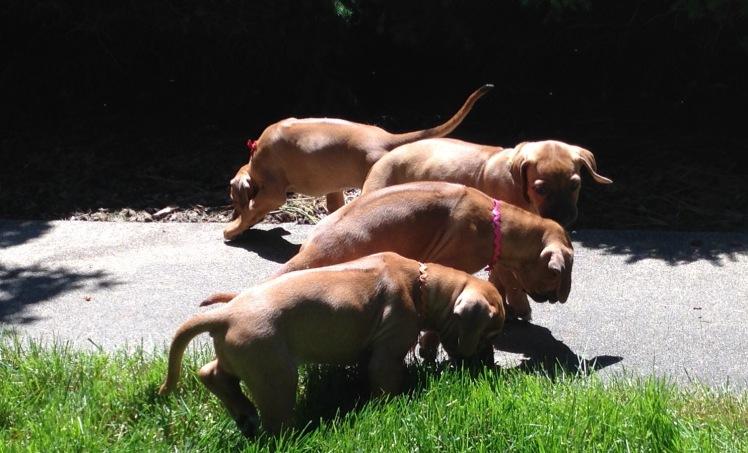 pups 5-27-18 -5